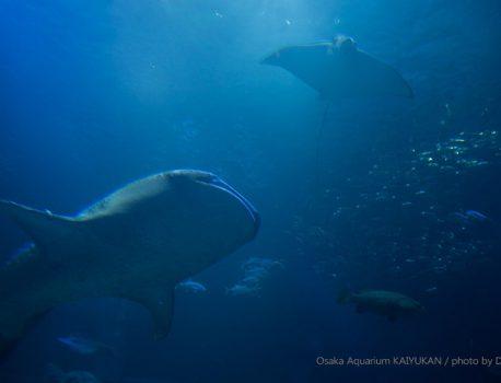 世界最大級の水族館、大阪・海遊館とジンベイザメ