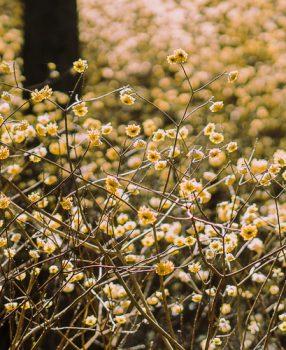 仲春の季語を持つ、兵庫県にあるミツマタの群生地に行って来た