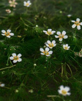滋賀県米原市醒ヶ井にとっても可愛い梅花藻を見に行ってきた