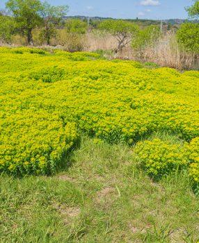 鮮やかな黄色い花を咲くノウルシが群生する滋賀県の高島に行ってきました